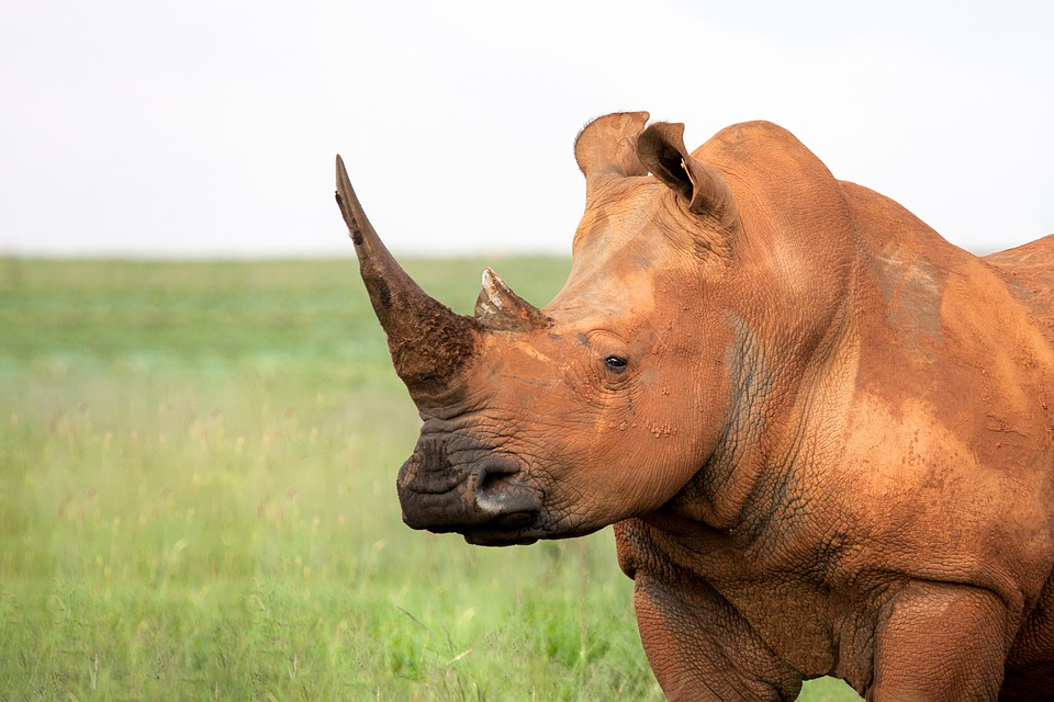 portrait-of-a-white-rhinoceros-3062826_960_720